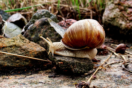 Horizontal closeup image of Helix pomatia (Burgundy snail, Roman snail, edible snail, Weinbergschnecke, escargot) in dark reddish tones and high contrast with selective focus gliding on the stones Banco de Imagens