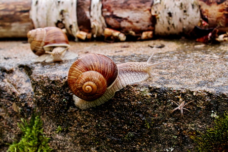 Horizontal closeup image of Helix pomatia (Burgundy snail, Roman snail, edible snail, Weinbergschnecke, escargot) in dark reddish tones and high contrast with selective focus gliding on the concrete