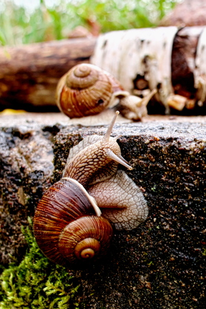 Vertical closeup image of Helix pomatia (Burgundy snail, Roman snail, edible snail, Weinbergschnecke, escargot) in dark reddish tones and high contrast with selective focus gliding on the concrete