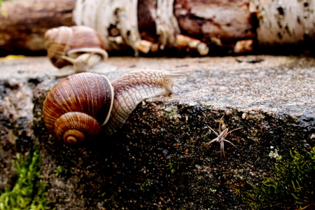 Horizontal closeup image of the spider on the concrete wall and two deficused Helix pomatia (Burgundy snail, Roman snail, edible snail, Weinbergschnecke, escargot) in dark reddish tones and high contrast with selective focus gliding on the concrete Imagens