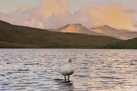 Horizontal scenic image of Faroese landscape with Cygnus cygnus (whooper swan, Singschwan) standing in lake with distant mountains in background and clouds colored in yellow and orange by evening sun. Glorious sceneries of the Faroes. Postcard motif.