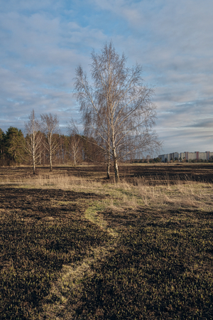 Dramatic landscape of ecological disaster caused by traditional last year's dry grass burn out near the wood with survived birch trees in the field covered with black ashes and cinder. One can see remains of vegetation in the spring meadow. Childish hooliganism and an elementary carelessness of those who throw down unextinguished cigarettes or leave burning fire without supervision may cause ecological infliction of harm of ecology.