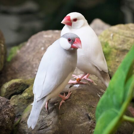 Close-up of one grey-painted and one albino amadin birds with bird bands sit on the stones in the greenhouse in Latvia