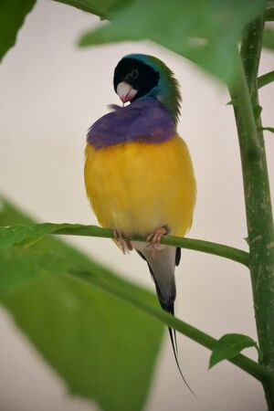 Close-up of gouldian finch perched on the green branch in the greenhouse and cleaning its feather Banco de Imagens
