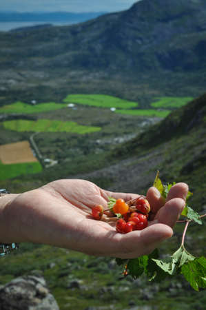 Closeup of man's hand full of cloudberries against the background of the Norwegian sea and Vega archipelago with a view from a Gullsvågfjellet Mountain on Vega island, Norway on sunny summer day