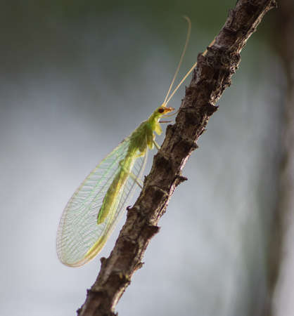 Closeup of green lacewing sitting on the branch of pine tree Stock Photo