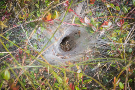 Funnel-web spider in his tunnel in the grass