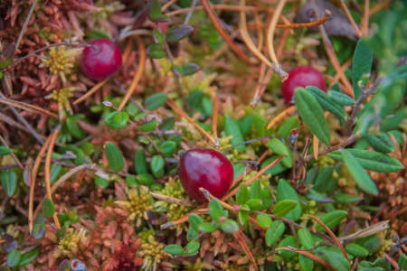 Closeup of red cranberries growing in the green and red moss and grass in swamp among dry pine needles