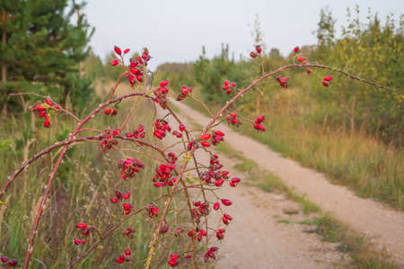 Bare rosehip branches with red berries bent over the straight countryside road. Hiking and cycling trail on former railway line