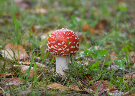 Closeup of red fly agaric mushroom (fly amanita or amanita muscaria) in the grass covered with raindrops