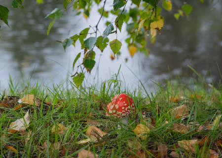 Closeup of red fly agaric mushroom (fly amanita or amanita muscaria) in the grass on the lakeside on rainy day. Branches of birch tree with yellow and green leaves hanging over.