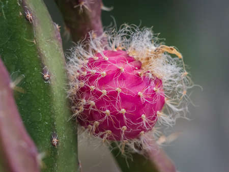 Closeup of red fruit (flower)of cactus with prickles Banco de Imagens - 161368677
