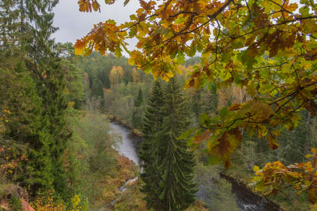 Aerial view to Brasla river running through green and yellow forest in autumn. Large fir trees in the center. Oak branch with yellow leaves in the foreground