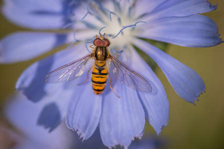 Marmalade hoverfly (Episyrphus balteatus) on a bright blue flower of common chicory Banco de Imagens - 158905933