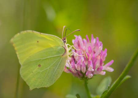 Closeup of common brimstone (Gonepteryx rhamni) butterfly on pink flower of red clover