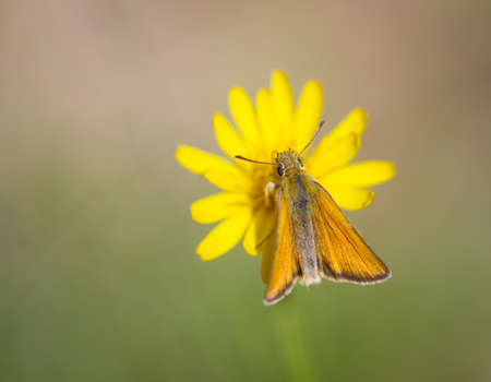 Essex skipper butterfly (Thymelicus lineola) on yellow flower