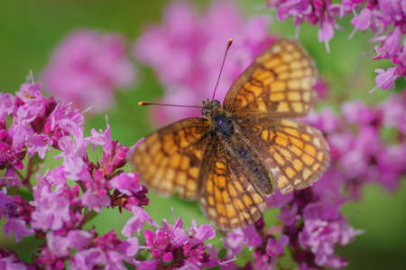 Heath fritillary (Melitaea athalia) butterfly on purple flower of broad-leaved thyme Banco de Imagens - 161368941