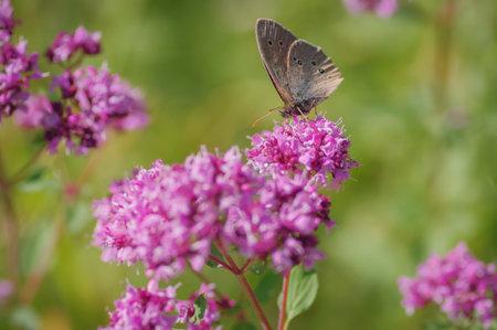 Ringlet (Aphantopus hyperantus) butterfly on purple flower of broad-leaved thyme Banco de Imagens