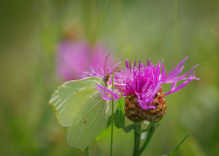 Closeup of common brimstone (Gonepteryx rhamni) butterfly on purple flower of brown knapweed Banco de Imagens