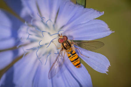 Marmalade hoverfly (Episyrphus balteatus) on a bright blue flower of common chicory