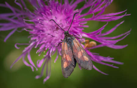 Closeup of brightly coloured, day-flying moth Zygaena sp. on purple flower of brown knapweed