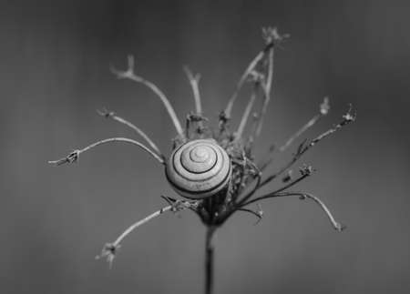 Monochrome image of shell of snail lying in the center of dry umbel against blurry background