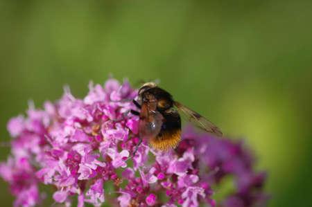Bumblebee on purple flower of broad-leaved thyme