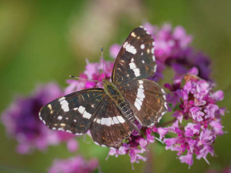 The map butterfly (Araschnia levana) on purple flower of broad-leaved thyme