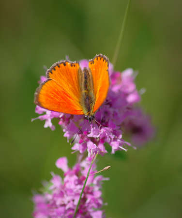 The scarce copper (Lycaena virgaureae) butterfly on purple flower of broad-leaved thyme Banco de Imagens