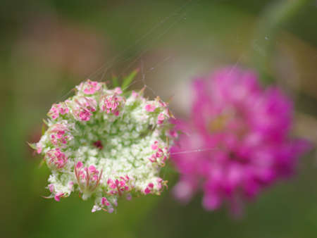 Closeup of beautiful pink and white flower of wild carrot (Daucus carota, Queen Anne's lace). Blurry pink flower of red clover in the background Banco de Imagens