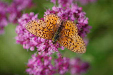 Lesser marbled fritillary (Brenthis ino) butterfly on purple flower of broad-leaved thyme