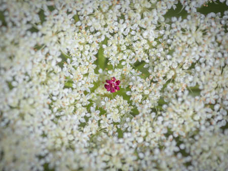 Closeup of beautiful  white flower of wild carrot (Daucus carota, Queen Anne's lace) with one small flower in the center