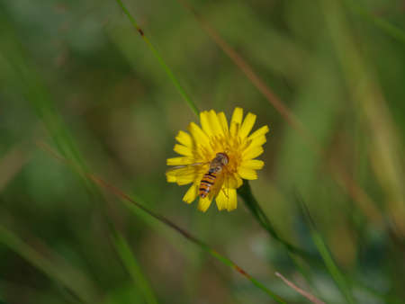 Marmalade hoverfly (Episyrphus balteatus) on a bright yellow flower of sow thistle in the green meadow