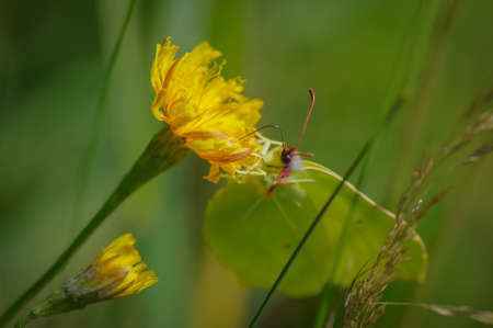Yellow flowers of sow thistle with yellow common brimstone butterfly on it in green grass Banco de Imagens