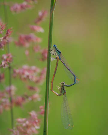 Pair of the white-legged damselfly or blue featherleg (Platycnemis pennipes) mating on grass in green meadow Banco de Imagens