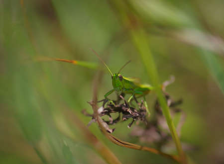 Closeup of small green and brown locust (grasshopper) sitting in the green grass