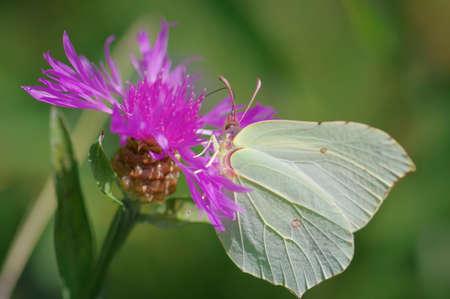 Closeup of common brimstone (Gonepteryx rhamni) butterfly on purple flower of brown knapweed Banco de Imagens