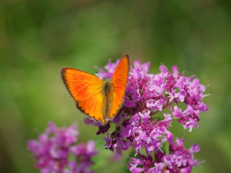 The scarce copper (Lycaena virgaureae) butterfly on purple flower of broad-leaved thyme Banco de Imagens