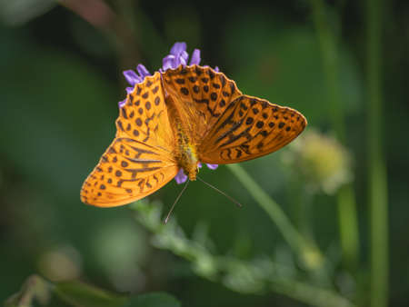 The silver-washed fritillary butterfly on flower of field scabious Banco de Imagens