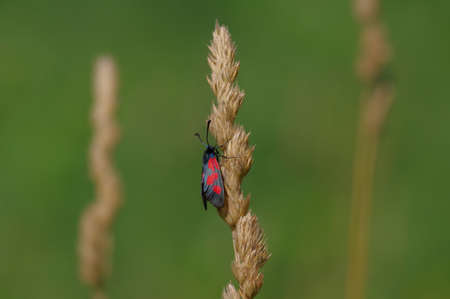 Closeup of blue and red coloured day-flying moth Zygaena sp. on dry yellow spike of grass