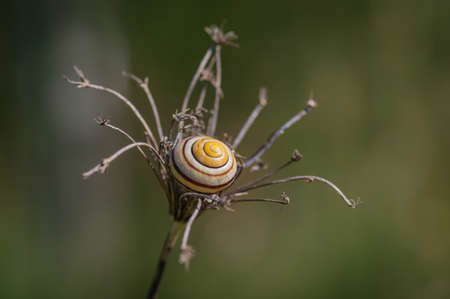 Stripy yellow and brown shell of snail lying in the center of dry umbel against green blurry background Banco de Imagens