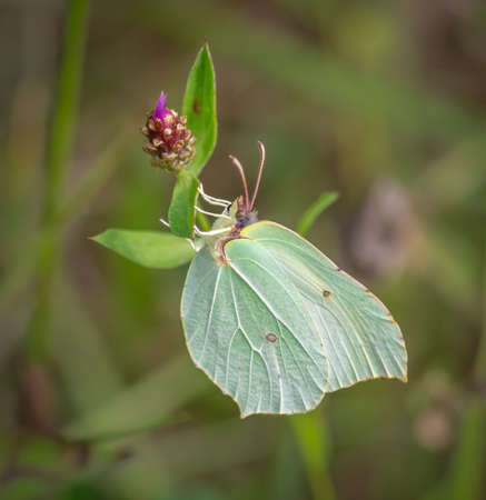 Closeup of common brimstone (Gonepteryx rhamni) butterfly on purple flower