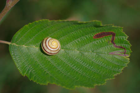 Stripy yellow and brown shell of snail lying on green leaf