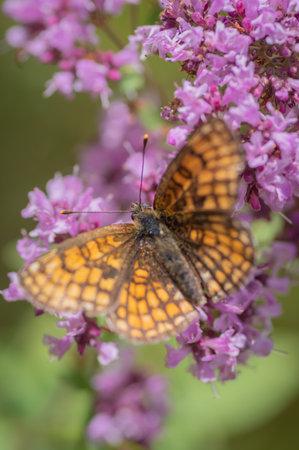 Heath fritillary (Melitaea athalia) butterfly on purple flower of broad-leaved thyme