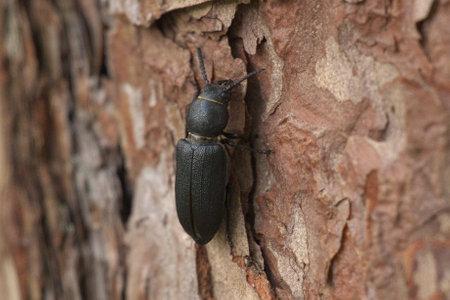 close-up of black long horn beetle, Spondylis buprestoides sitting on on pine wood
