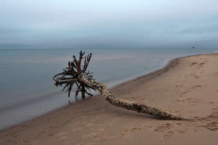 Dead tree washed out by the see after the storm. Coastline of the calm Baltic see with wreck of Lady Cotlin in background at Mangalsala, Riga, Latvia.