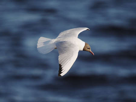black-headed gull (Chroicocephalus ridibundus) flying over dark blue water of Baltic sea