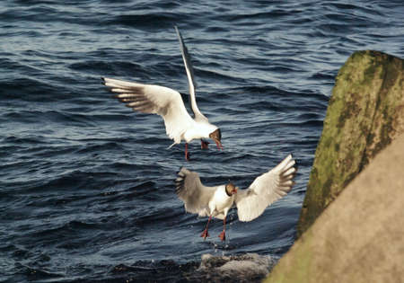 two black-headed gulls (Chroicocephalus ridibundus) fighing foor food near the water surface close to concrete blocks covered with seaweeds on a summer evening lighted by warm sunlight