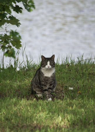 Beautiful domestic grey cat with white chest and legs sitting in green grass with river waters in background on a sunny day Banco de Imagens - 161845669