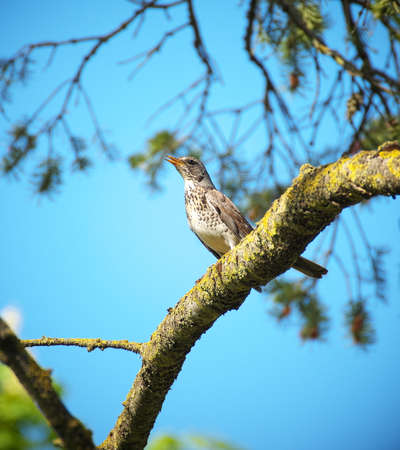 Close-up of Fieldfare (turdus pilaris) perching on a tree branch with bright blue sky in background on a warm sunny summer day Banco de Imagens - 162123244